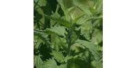 ORGANIC HERB TEA CATNIP (Nepeta cataria)