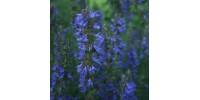 ORGANIC HERBAL TEA, HYSSOP (Hyssopus officinalis)