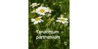 ORGANIC HERBAL TEA, FEVERFEW (Tanacetum parthenium)