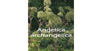 ORGANIC HERBAL TEA, ANGELICA  / Angelica archangelica /(Roots)