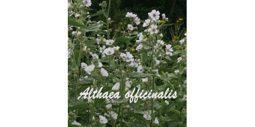 TISANE BIO GUIMAUVE  Althaea officinalis  (feuille)