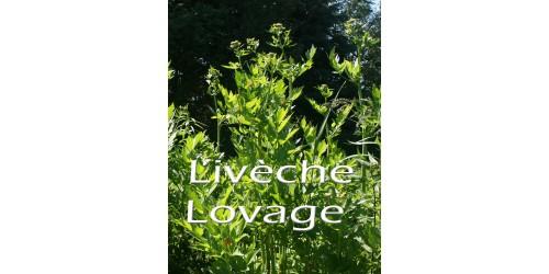 LIVÈCHE (Levisticum officinale) / céleri perpétuel
