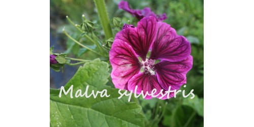 ORGANIC HERB TEA, MALLOW (Malva sylvestris), FLOWERS
