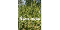 ORGANIC HERB TEA YELLOW DOCK (Rumex crispus)