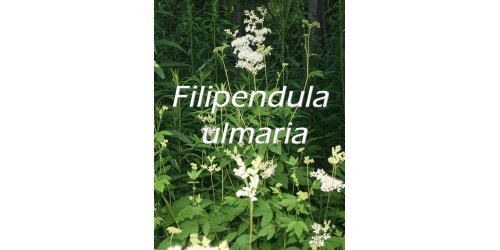 ORGANIC HERBAL TEA MEADOWSWEET (Filipendula ulmaria)