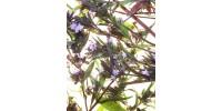 SAVORY, organic dry herb