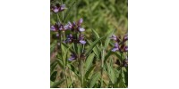TISANE BIO SAUGE (Salvia officinalis)