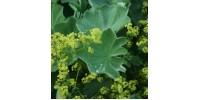 TISANE BIO ALCHÉMILLE (Alchemilla vulgaris)