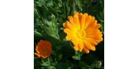TISANE BIO CALENDULE (SOUCI) Calendula officinalis