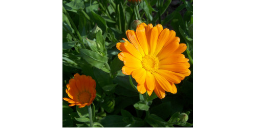 ORGANIC HERBAL TEA CALENDULA, Calendula officinalis