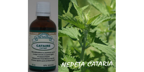 CATNIP, Organic tincture, (Nepeta cataria)