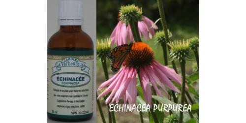 ÉCHINACEA, Organic tincture, (Echinacea purpurea)