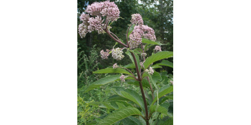 ORGANIC HERB TEA EUPATORIUM (JOE PYE WEED)