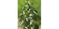 ORGANIC HERBAL TEA HOREHOUND, Marrubium vulgare