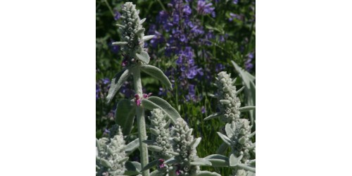 ORGANIC HERBAL WOOLY LAMB'S EAR (Stachys byzantina)