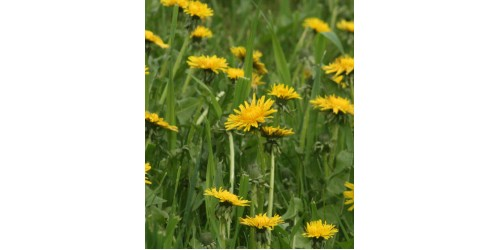 ORGANIC HERBAL TEA DANDELION (Taraxacum officinale) Root