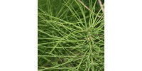 ORGANIC HERBAL TEA HORSETAIL, Equisetum arvense