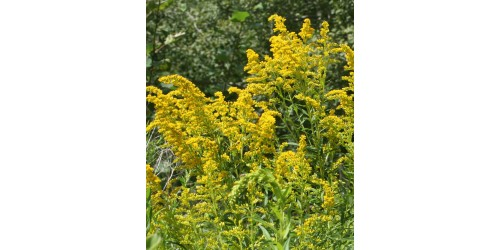ORGANIC HERBAL TEA, GOLDENROD (Solidago Canadensis)